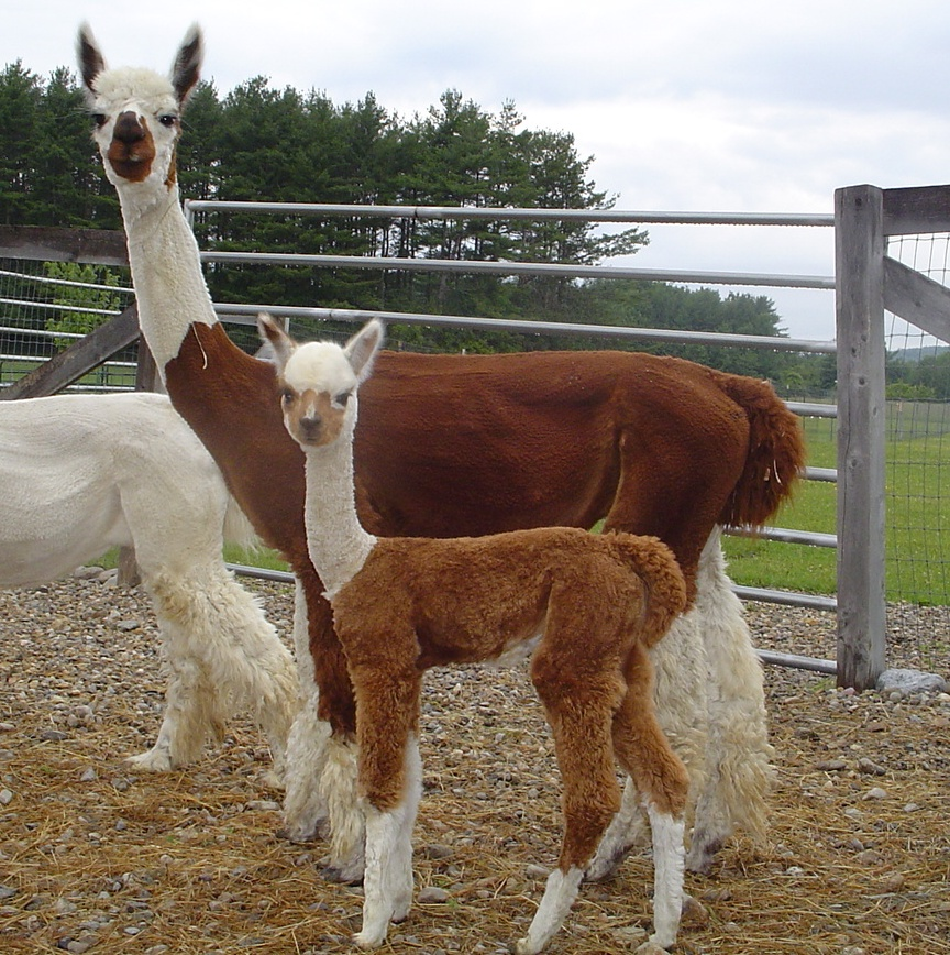 Locally grown animals agriculture welcome to brandon for Alpacas view farm cuisine